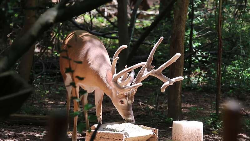 Becoming a Student of Whitetail Deer